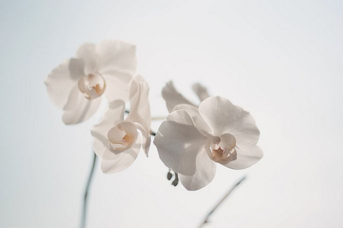 Orchidea v bielej farbe