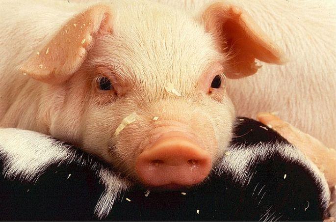 Prasiatko - mäsová výroba