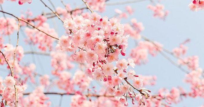 Ružové kvety čerešne